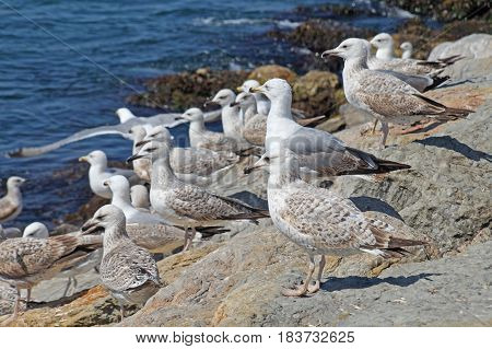 Seagulls in large numbers sit on the shores of the Bosphorus Strait