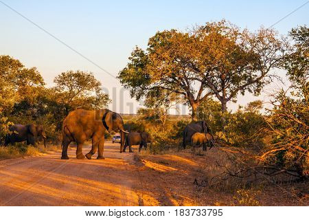 Huge herd of elephants becomes a dirt road.  Sunset in Kruger National Park, South Africa