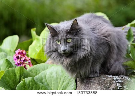 Norwegian forest cat is sitting on a stone