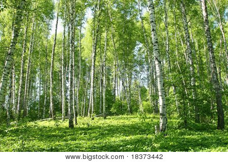 russian forest in spring