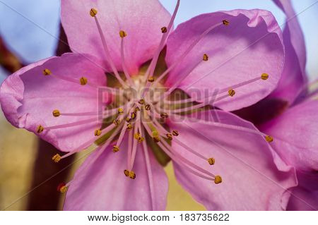 pink flower of peach tree macro photo in sunny day of spring