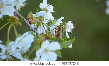 Bee collecting pollen from the blooming apple tree in springtime