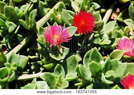 Pink red flowers on green succulent in the sun