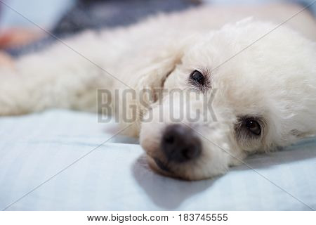 Lazy White Poodle Dog