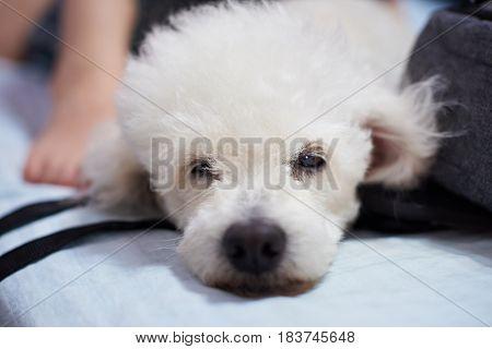 Close-up Of Lazy White Poodle Dog
