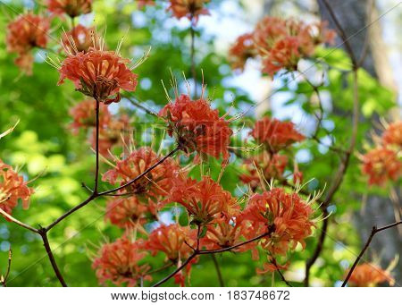 Wild flame (orange) azaleas, multi blooms in wooded setting with blue sky and tree trunk in background