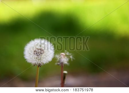 Three dandelions next to each other one with all the seeds one with some and one with none. With a green background and space for text.