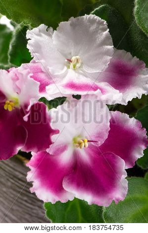 beautiful white with pink variety of African violets (Saintpaulia ionantha) close-up