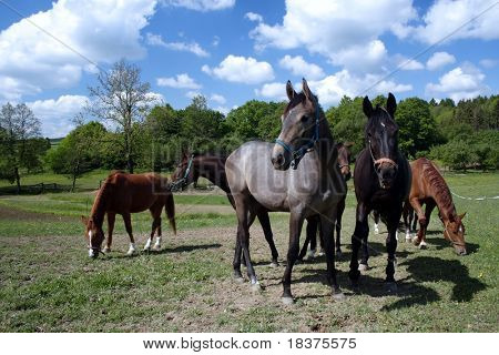 horses grazing on ranch poster