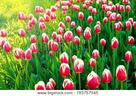 Close up of beautiful tulips in spring