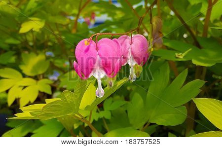 close up of pink bleeding heart blossom on plant