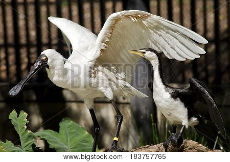 the royal spoonbill and the pied heron are drying theie wings on the same branch