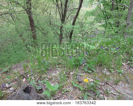 Spring Trees and wildflower violets along bluff at Starved Rock State Park