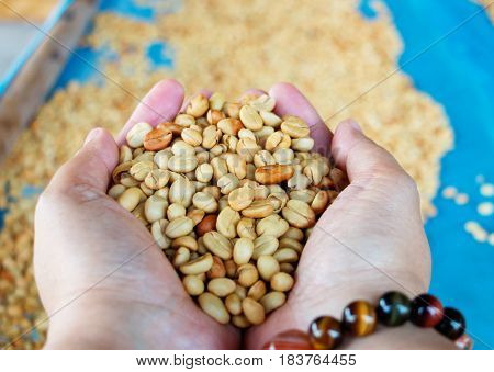 raw dried coffee beans in hands over dry tray