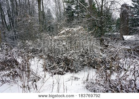 Snow covers a Tartarian honeysuckle bush (Lonicera tatarica) in a Harbor Springs, Michigan, after a November snowstorm.