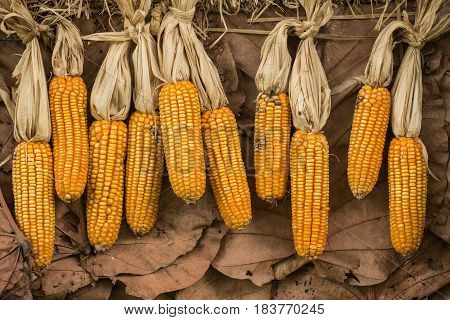 Dried Corns Or Maize. Dry Food Reservation