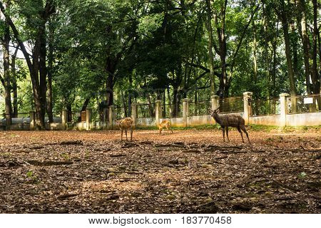 Deer's sitatunga tragelaphus spekii cage with trees and surrounding by white wall and fence photo taken in Ragunan zoo Jakarta Indonesia java