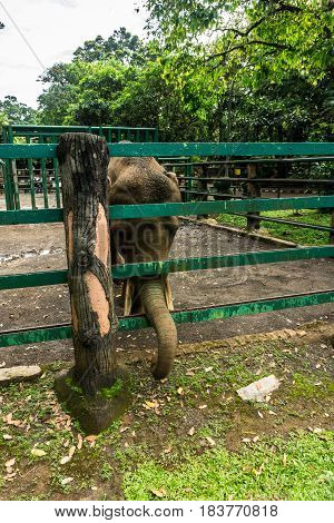 an elephant put out his trunk trough slit of cage for taking food photo taken in ragunan zoo jakarta indonesia java