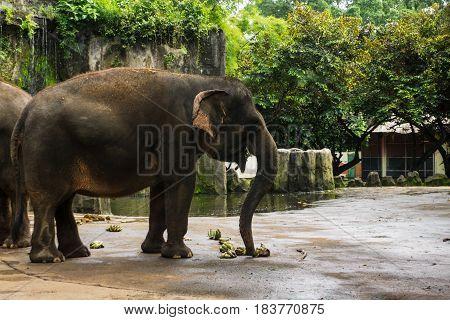 elephant taking banana with his trunk for eat photo taken in Ragunan zoo Jakarta Indonesia java