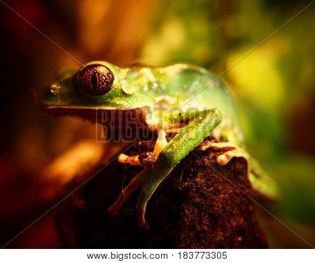 rana verde, de la selva nublada al sur de Venezuela