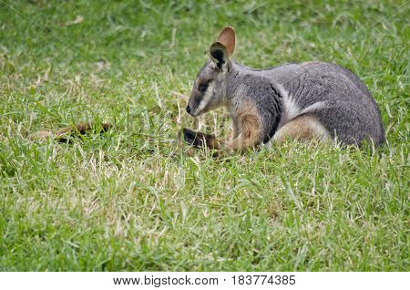 the yellow footed rock wallaby is resting in the grass