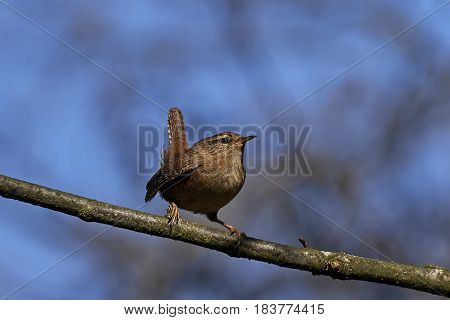 Eurasian wren sitting on a branch in its habitat