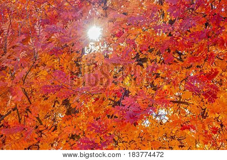 Red orange and yellow leaves on a mountain ash tree in autumn