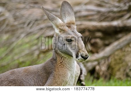 this is a close up of a red kangaroo