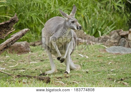 the male red kangaroo is grey in color