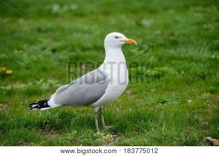 Seagull bird standing on green grass. Side view.