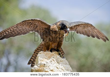 this is a close up of a hobby falcon landing