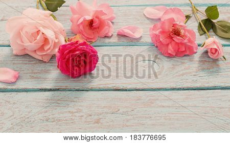 Beautiful roses on blue old wooden background