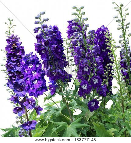 Purple blue Tall delphiniums flowers in the garden