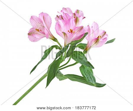 Alstroemeria Lily of the Incas isolated on white background