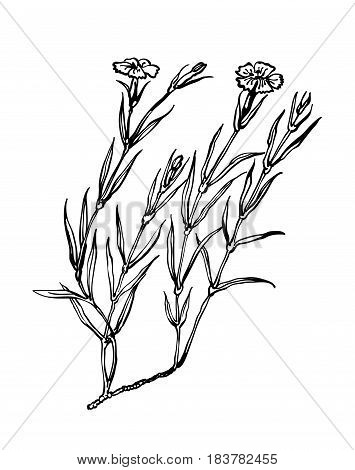Carnation vector. Plants of dry meadows. Wildflowers collection in outline style for natural, organic, health care products, aromatherapy. Flower lined isolated on a white background. Clove vector illustration.