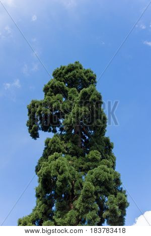Close-up of of a big Tree. Green Tree in front of a blue Sky. Fir Trees. Pine Trees. Trees in Spring.