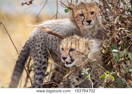 Two cheetah cubs play in a bush on the savannah in Masai Mara National Park, Kenya.