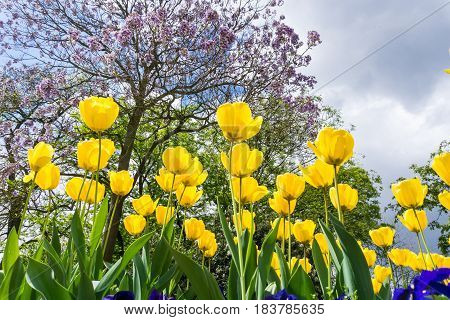 Close-up of Tulips. Garden Fowers. Beautiful Yellow Tulips (Tulipa gesneriana) in Spring. Spring Flowers in the Morning. Field full of Yellow Tulips