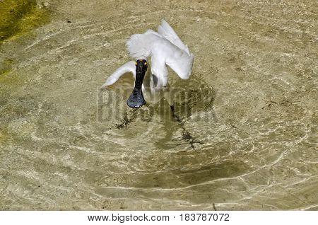 the royal spoonbill is cooling off in the water splashing about
