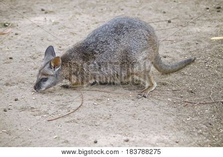 the tammar wallaby is eating a food pellet
