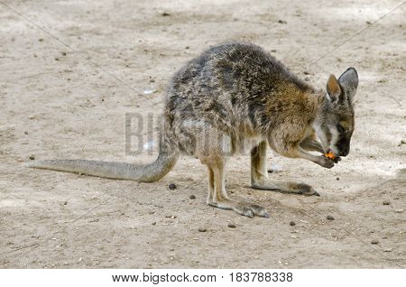 the tammar wallaby is eating a carrot