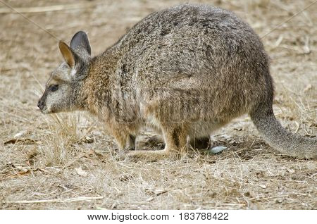 this is a close up of a tammar wallaby