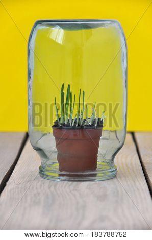 A small sprouting grass in a brown pot covered with a glass jar on wooden table on yellow background.