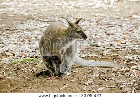 the red necked wallaby has a joey in her pouch