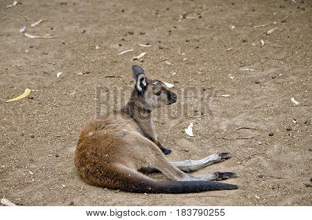 the Kangaroo-Island kangaroo is resting in the fielf