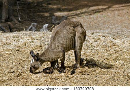 the Kangaroo-Island kangaroo is eating grass in a paddock