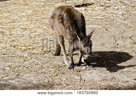 the Kangaroo-Island kangaroo is in the middle of a field