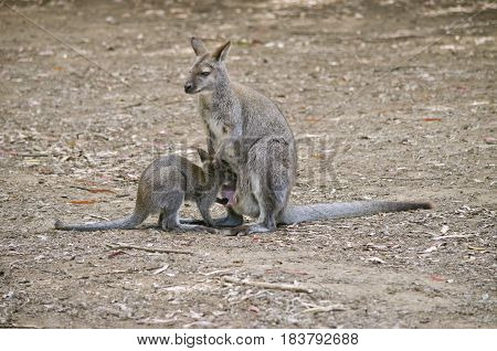 the bennetts red necked wallaby is feeding its joey