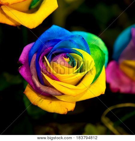 Rainbow rose flower. The rose flower is painted in all colors of the rainbow.