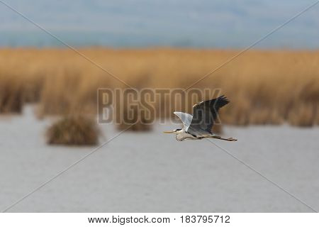 Gray Heron (ardea Cinerea) Flying Over Water With Reed